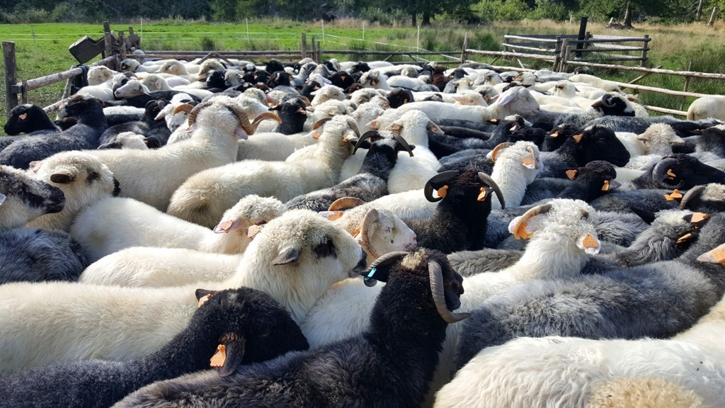 owce zakopane