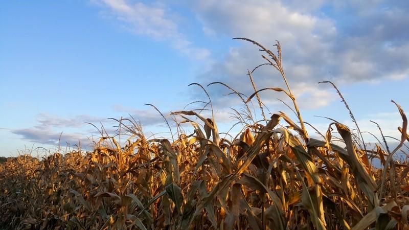 dojrzala kukurydza