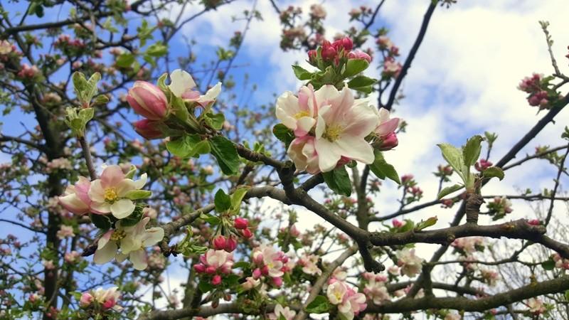 wiosna kwitnace drzewa
