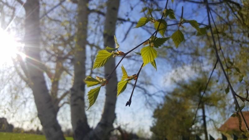 liscie brzozy kwiecien