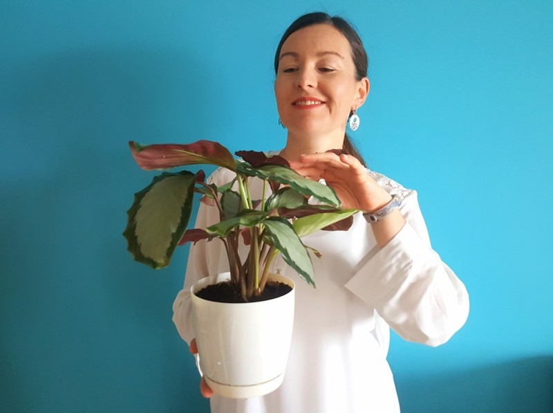 calathea roślina